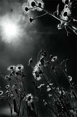 ασπρόμαυρη φωτογραφία λουλουδιών