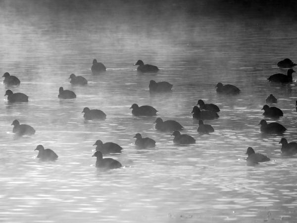 πάπιες μέσα στο νερό, ομίχλη