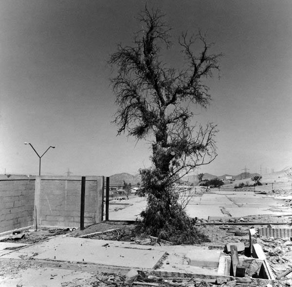 ασπρόμαυρη φωτογραφία, δέντρο σε θεμέλια γκρεμισμένου σπιτιού