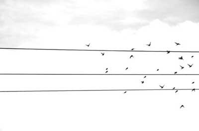 μαυρόασπρη φωτογραφία, καλώδια ΔΕΗ, πουλιά