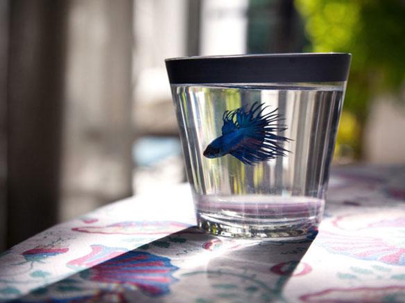 μικρό μπλε ψάρι μέσα σε ένα μικρό ποτήρι με νερό
