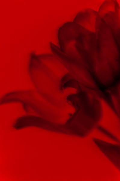 τουλίπα, κόκκινο χρώμα