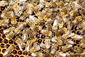 μέλισσες στην κηρήθρα