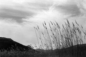 στάχυα, ασπρόμαυρη φωτογραφία