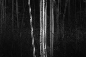 ασπρόμαυρη φωτογραφία, κορμοί δέντρων, Aspens, Northern New Mexico, 1958