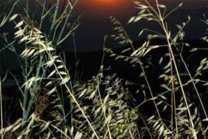 στάχυα, ηλιοβασίλεμα