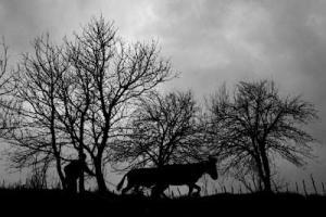ασπρόμαυρη φωτογραφία, ζευγάς και βόδι