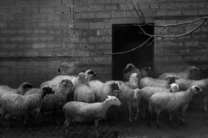 ασπρόμαυρη φωτογραφία / πρόβατα μπροστά σε κτήριο