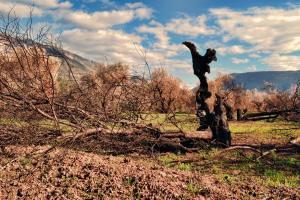 καμμένο δέντρο ελιάς στον ελαιώνα Άμφισσας