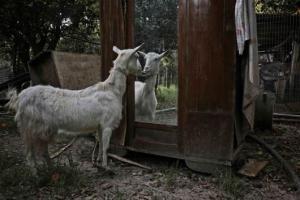 μία κατσίκα κοιτάζεται στον καθρέπτη