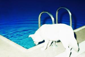 άσπρο σκυλί πίνει νερό από πισίνα