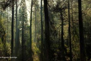 δένδρα στο δάσος Τρόοδος στην Κύπρο
