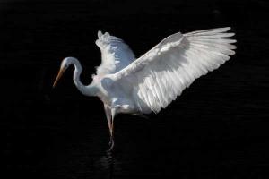 ένας κύκνος σε όρθια στάση με ανοιχτά τα φτερά σου σε μαύρο φόντο